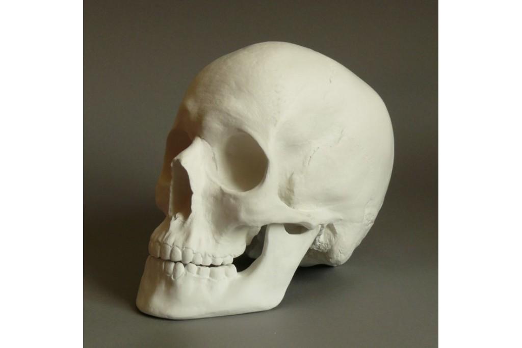 Гипсовая модель Череп анатомический 20х17х15 см
